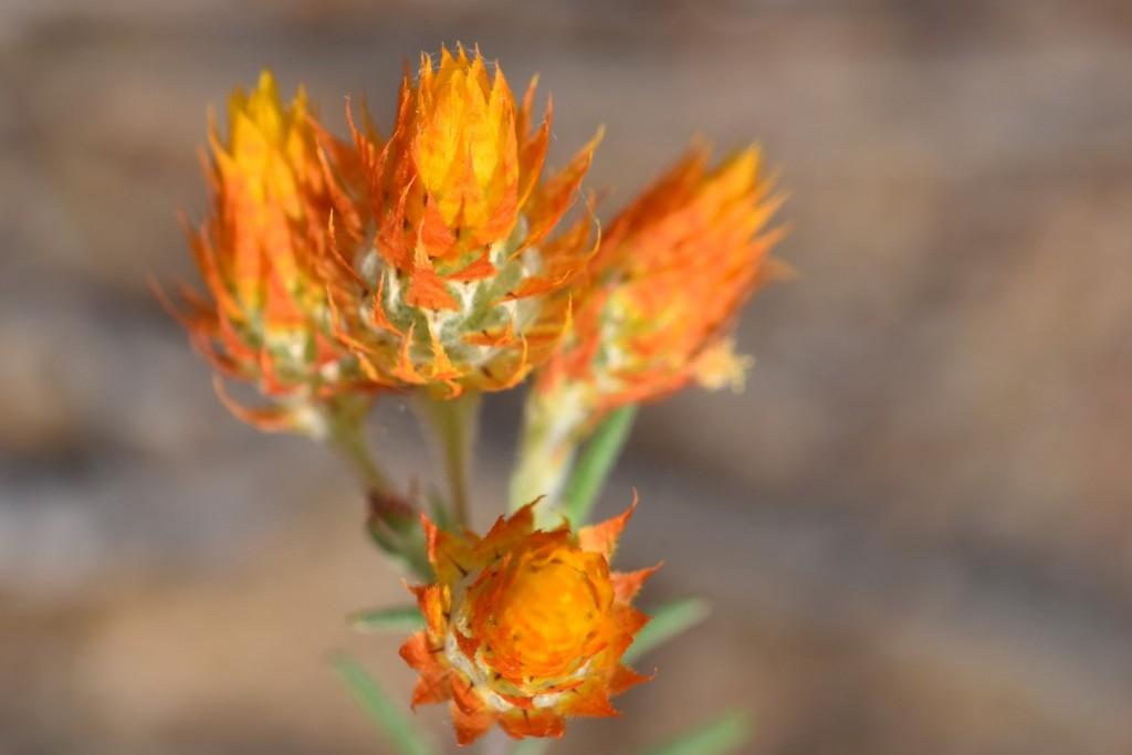 Orange unknown