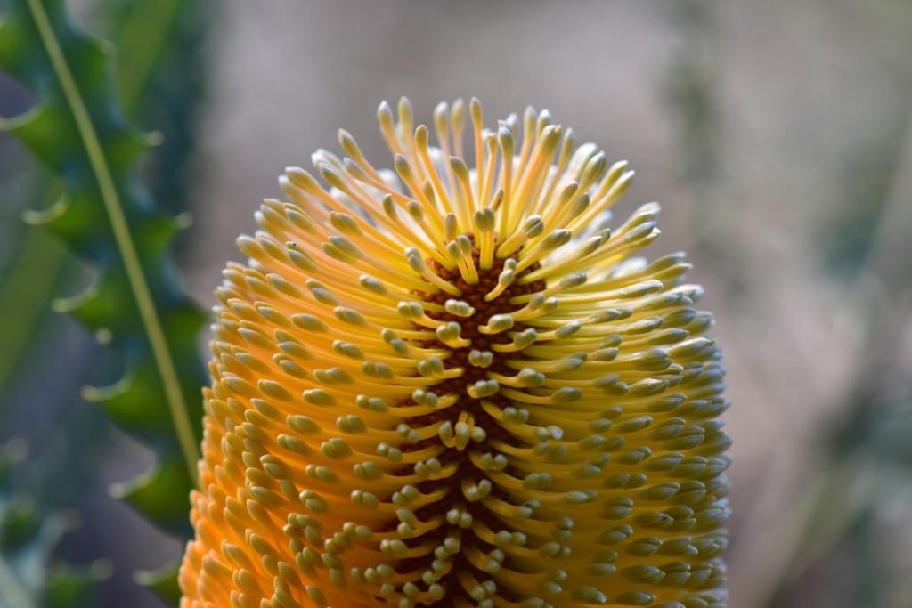 Banksia flowers