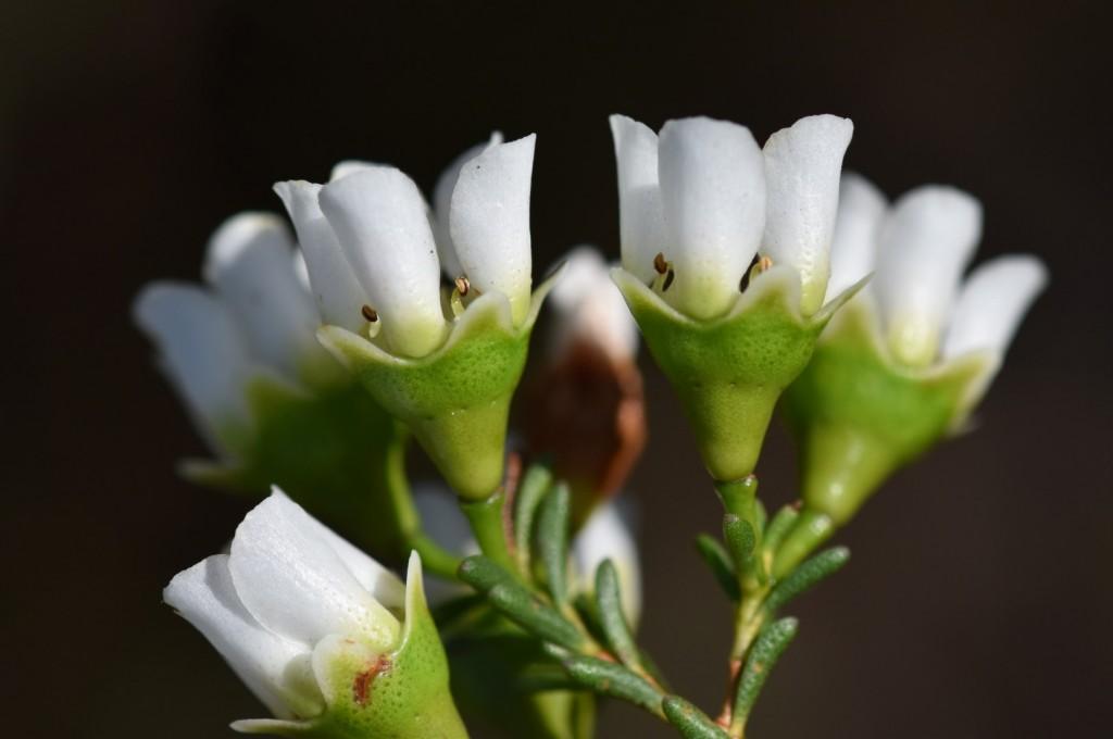 Leptospermum?