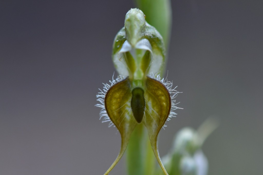 Rufous orchid