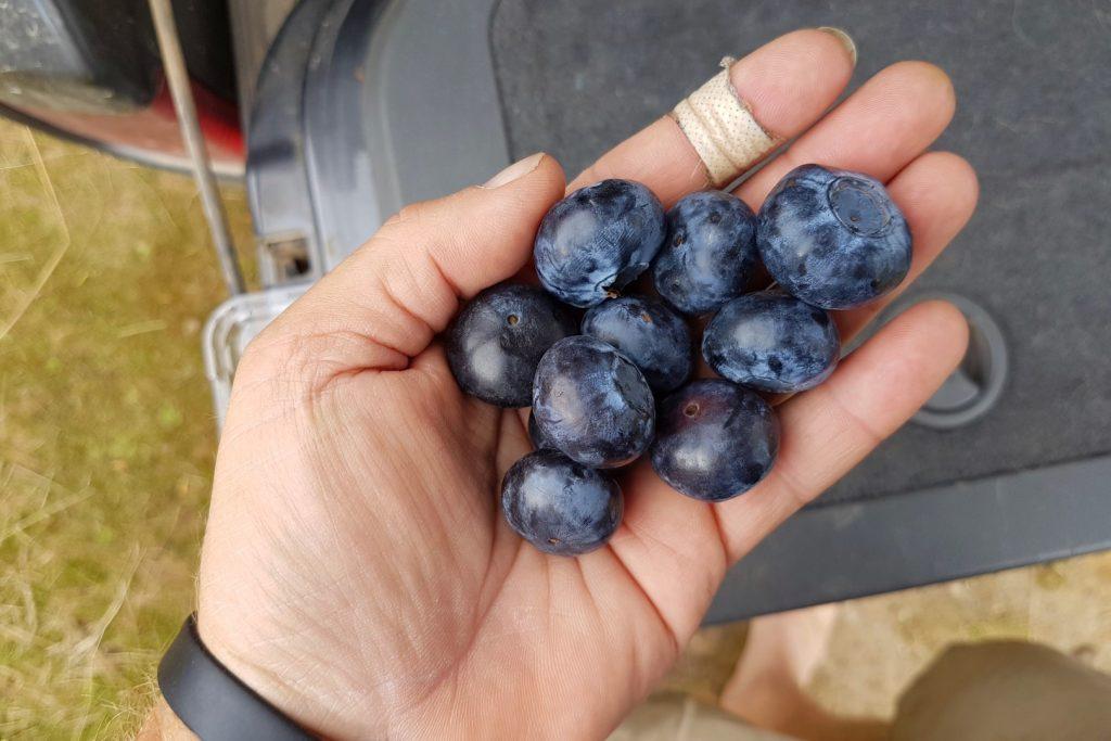 Tassie blueberries
