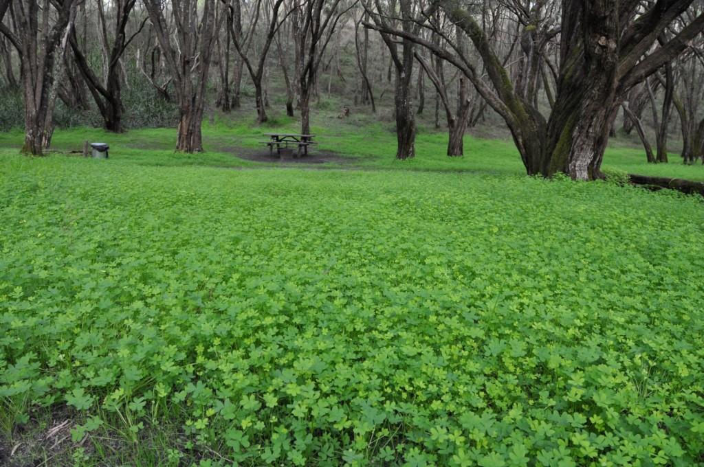 Thick carpet of clover