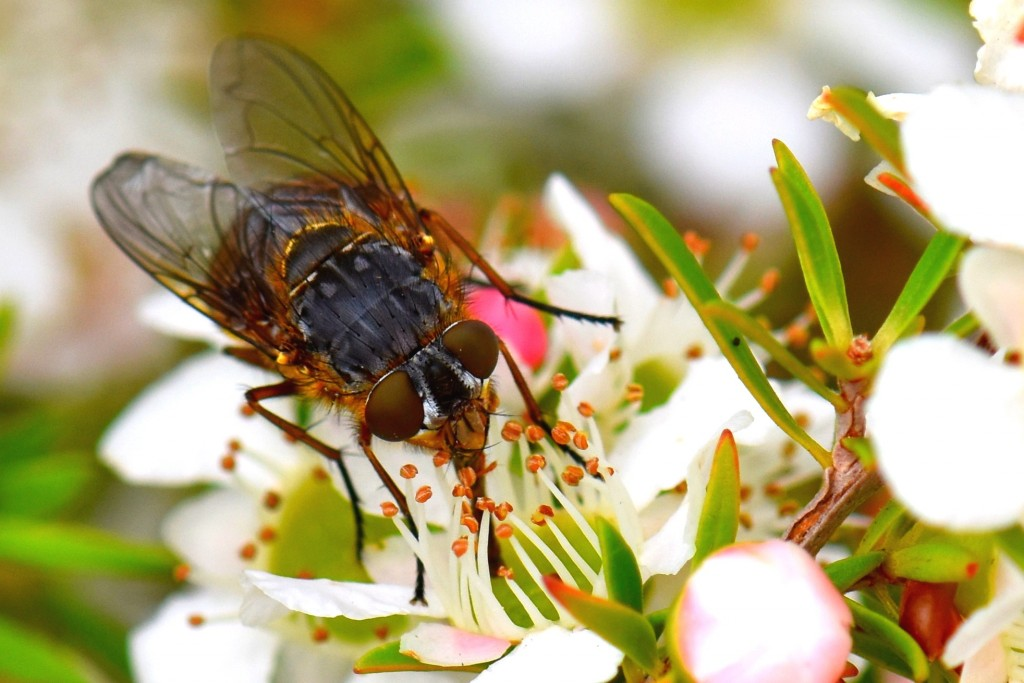 Fly eating nectar?