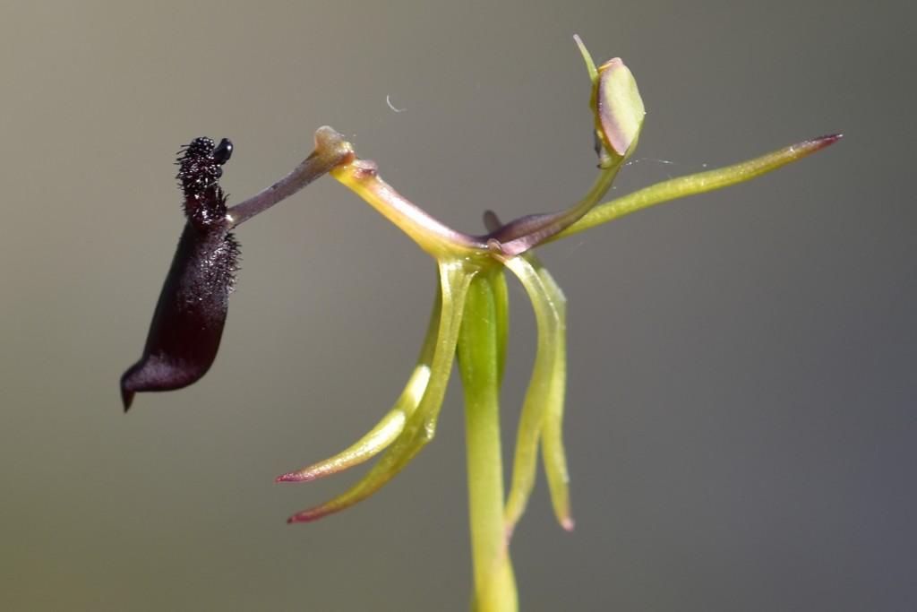 Hammer orchid