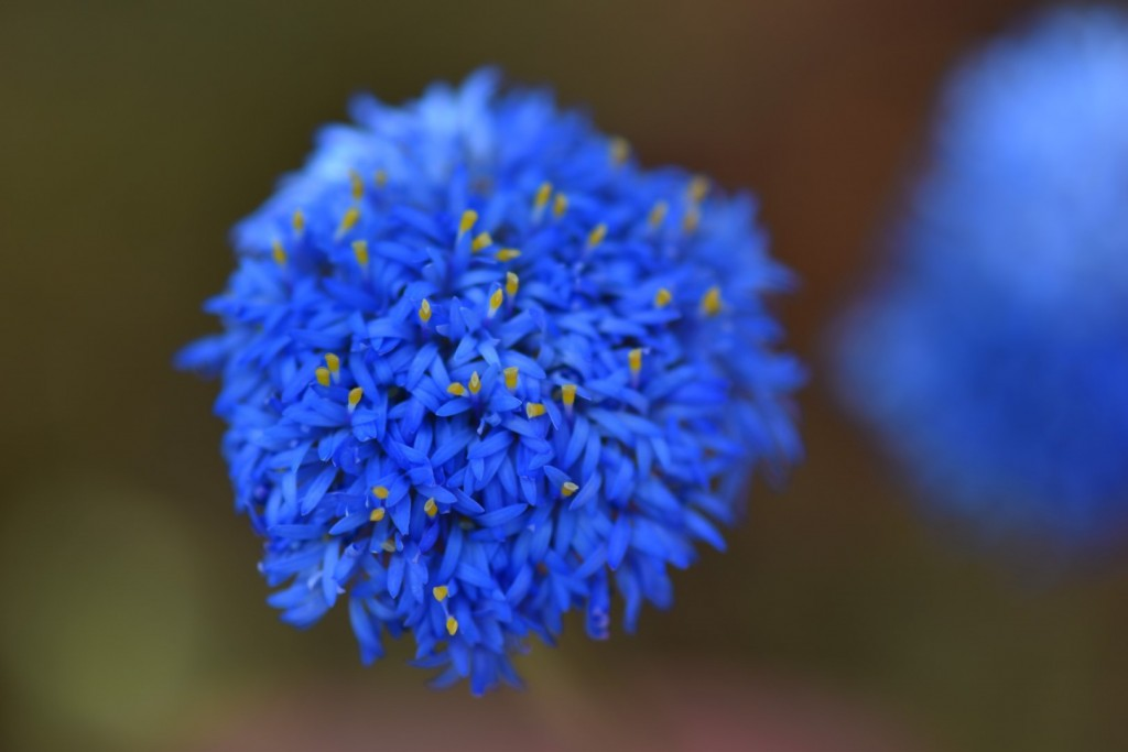 Native Cornflower