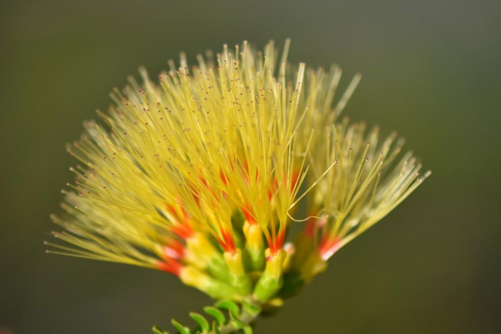 Yellow bottlebrush