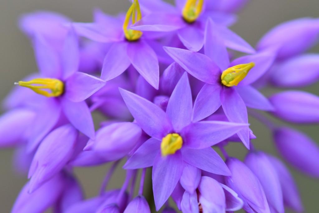 Purple tassel flower