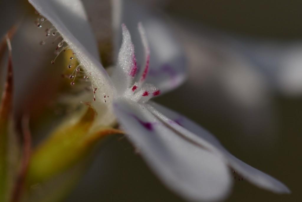 Trigger plant