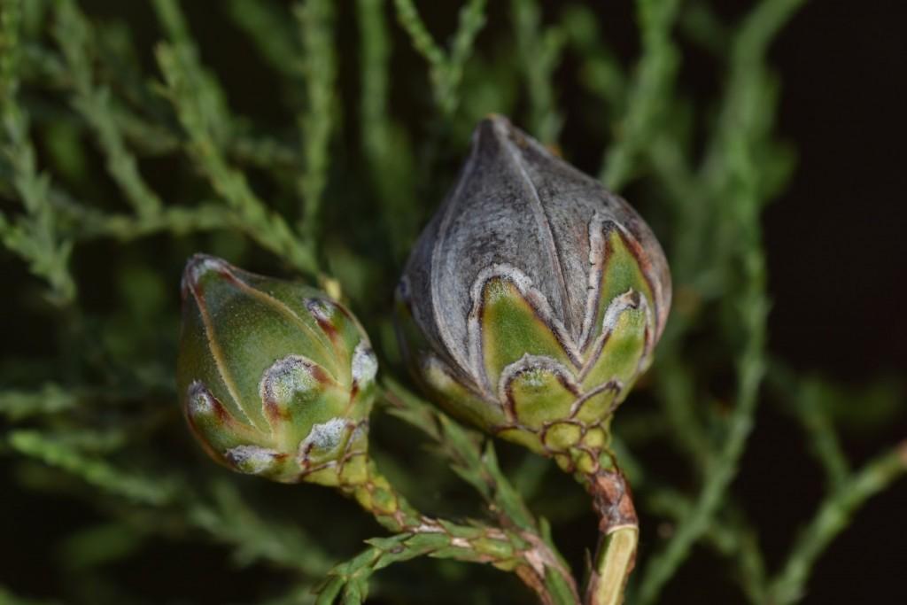 Native conifer