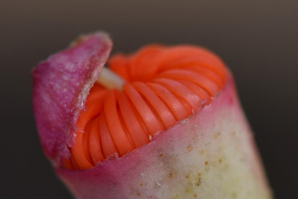 Eucalypt flower