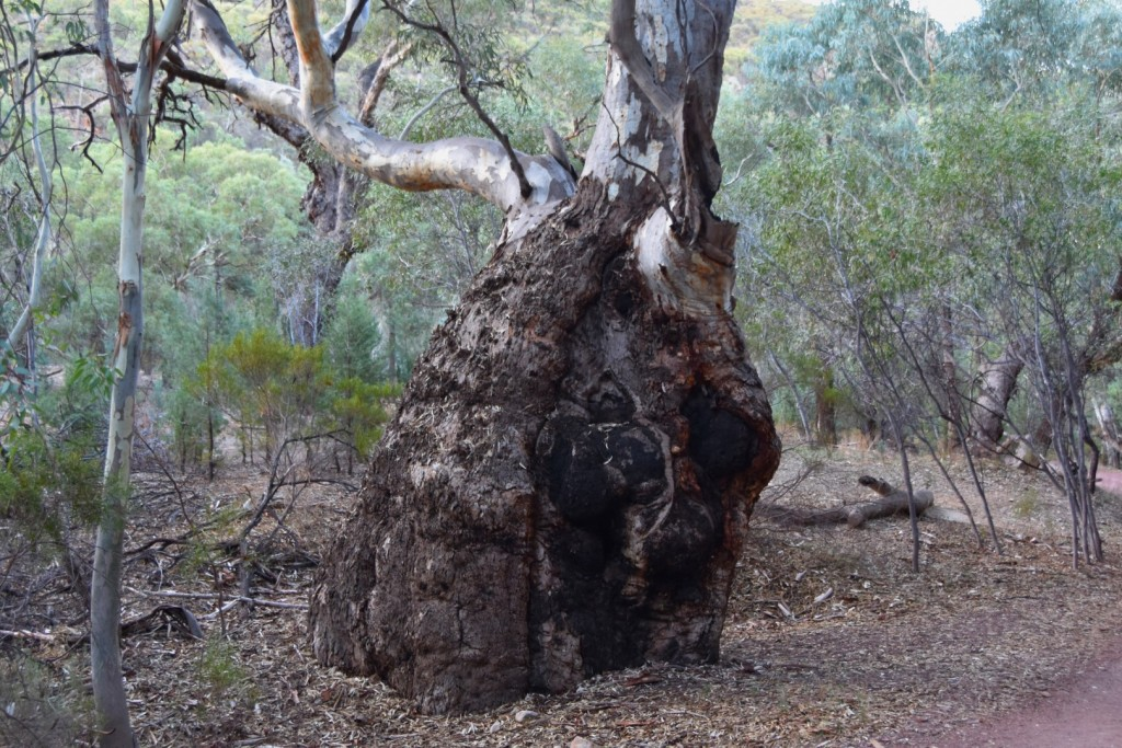 Old river red gum
