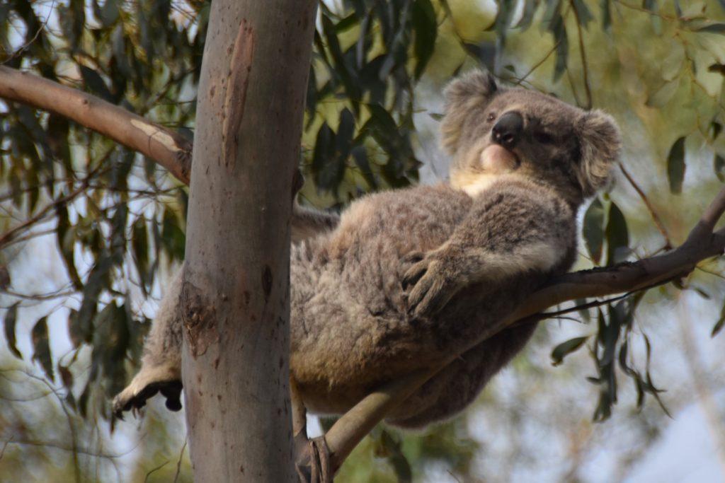 Koala with attitude